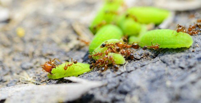 הדברה ירוקה נגד נמלים